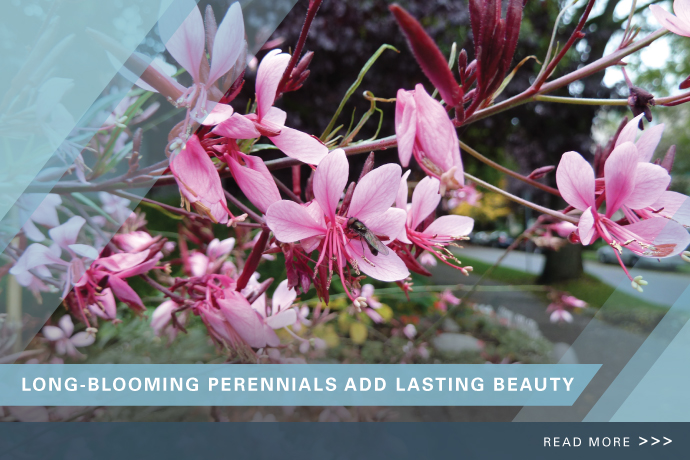 Long Blooming Perennial Tips