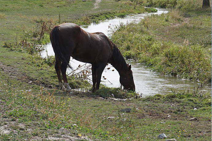 Horse in a feild drinking from a stream