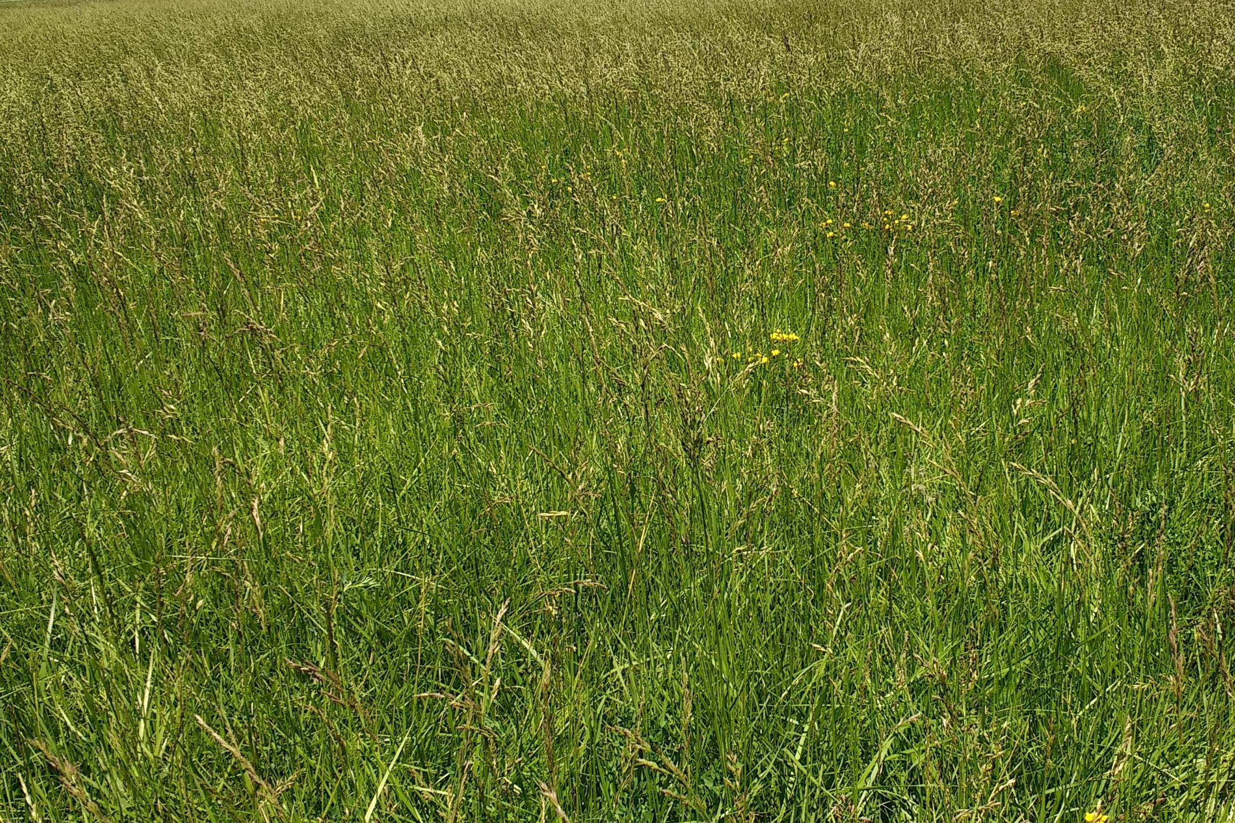 Picture of a field of different pasture grasses