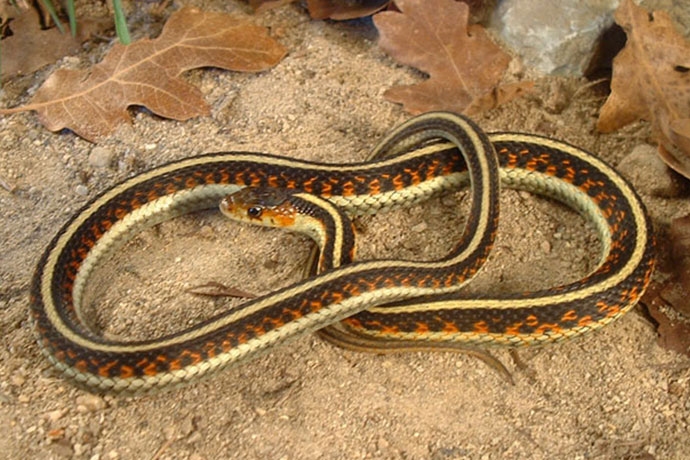 Ask an Expert: Slithering Snakes Spotted in Parks and Lawns