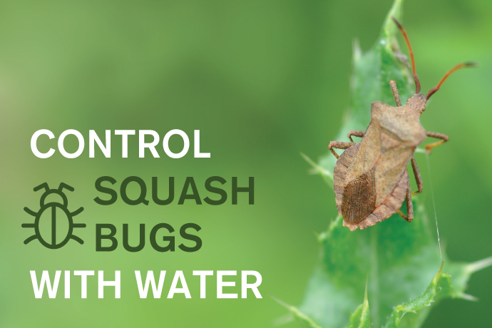 Control Squash Bugs With Water