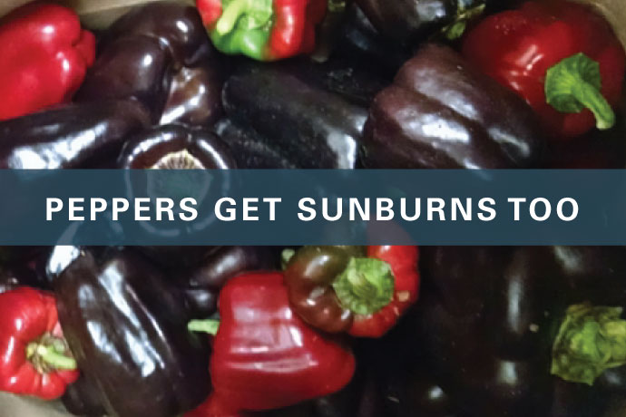 Peppers Get Sunburns Too