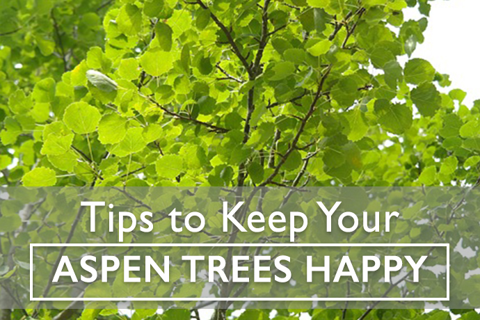 Ask an Expert: How to Keep Your Aspen Trees Happy