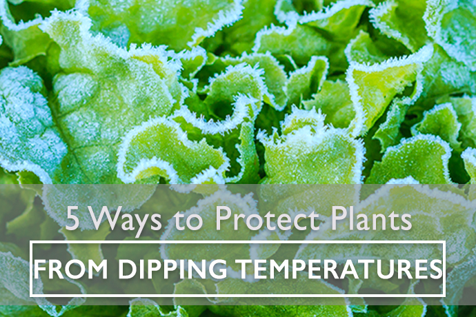 5 Ways to Protect Plants from Dipping Temperatures