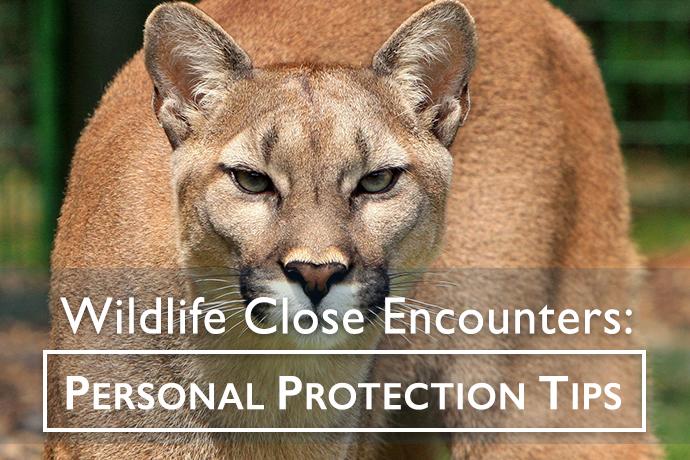 Cougar in Wild