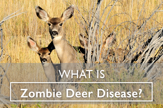 What is Zombie Deer Disease?