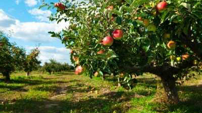 Apple Production and Variety Recommendations for the Utah Home Garden