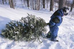 Ask an Expert - Tips for Christmas Tree Selection and Care