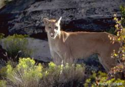 Ask an Expert - Cougar Sightings on the Rise