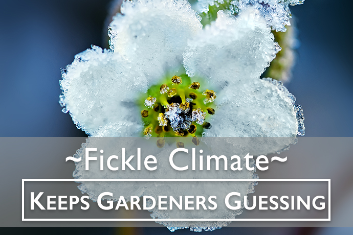 Fickle Climate Keeps Gardeners Guessing