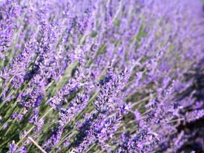 English Lavender in the Garden