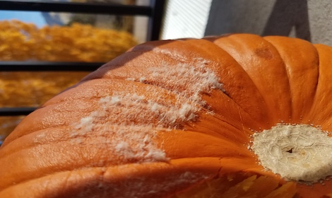 Mold on Pumpkin