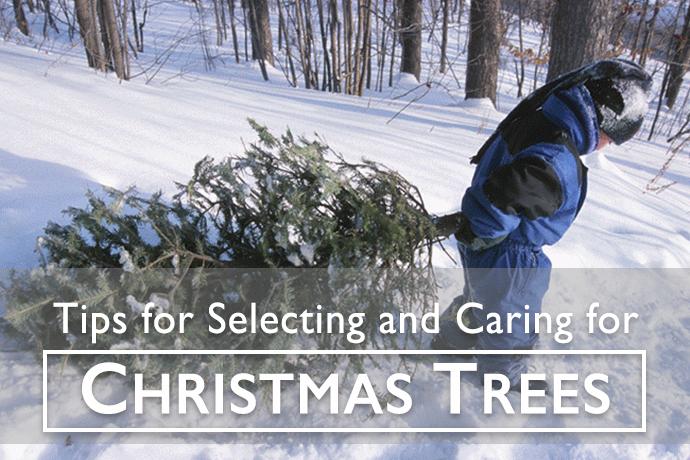 Selecting Christmas Tree