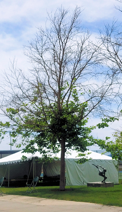 sycamore Anthracnose Tree