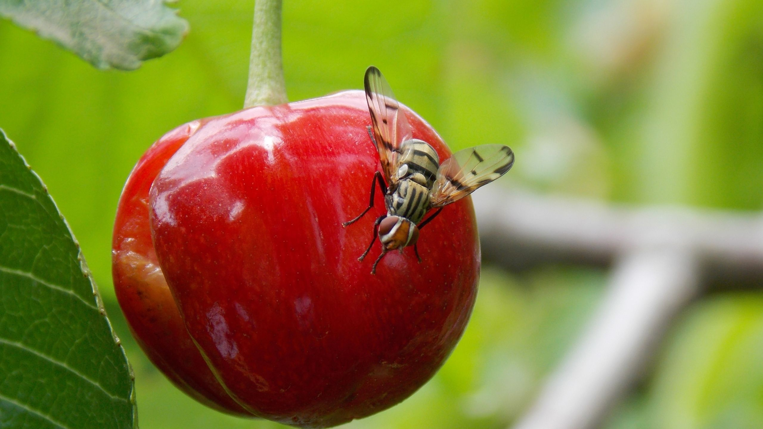 European cherry fruit fly adult