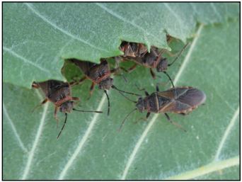 Elm seed bug adults hiding under overlapping elm leaves