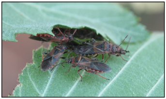 Elm seed bug adults hiding between overlapping elm leaves
