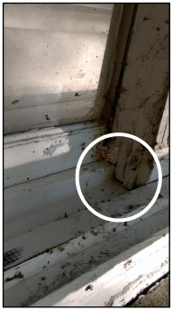 Elm seed bugs easily enter structures through gaps in the window frames