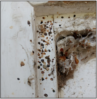 Fecal spots of elm seed bugs on a window frame