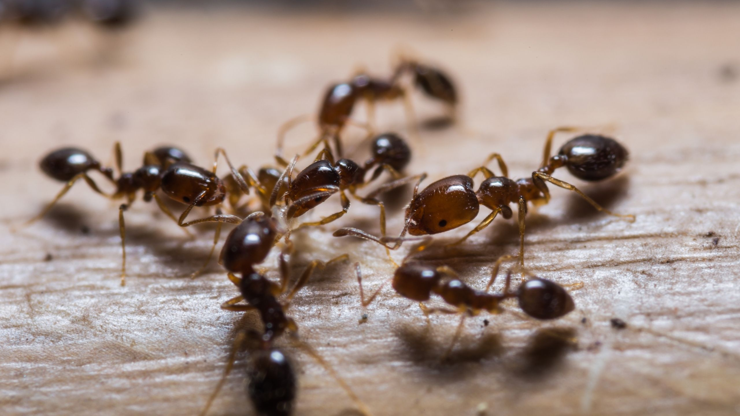 Red imported fire ant (IFA) workers swarming a boot.
