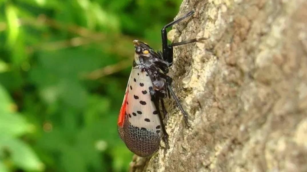 Spotted lanternfly adult with open wings