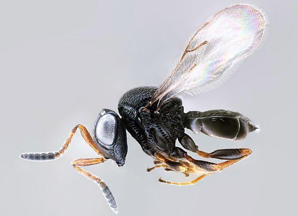 Samurai wasp, Trissolcus japonicus, detected in Utah