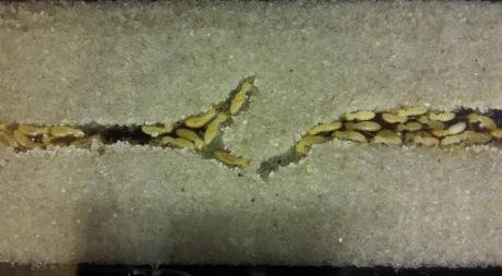 Short Bait Exposure Provides Control of Asian Subterranean Termite Colonies