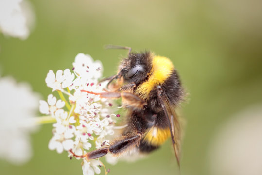 Tumbling Bee Populations Linked to Fungicides