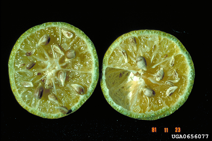 an orange discolored from citrus greening disease