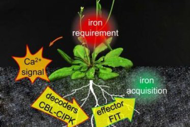 How plants cope with iron deficiency