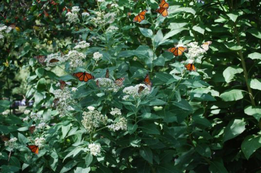 Migrating Monarchs Facing Increased Parasite Risks