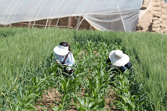 Mixing It Up: Mixed-Crop Fields Can Boost Natural Biocontrol of Insect Pests