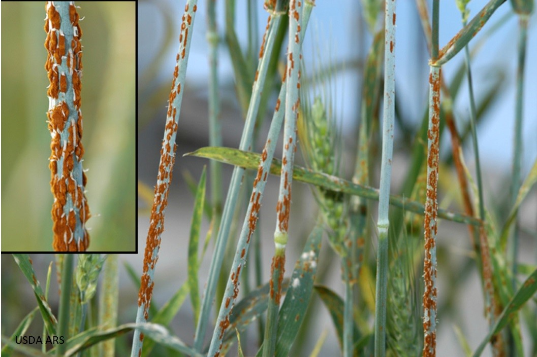 Wheat Diseases in Utah
