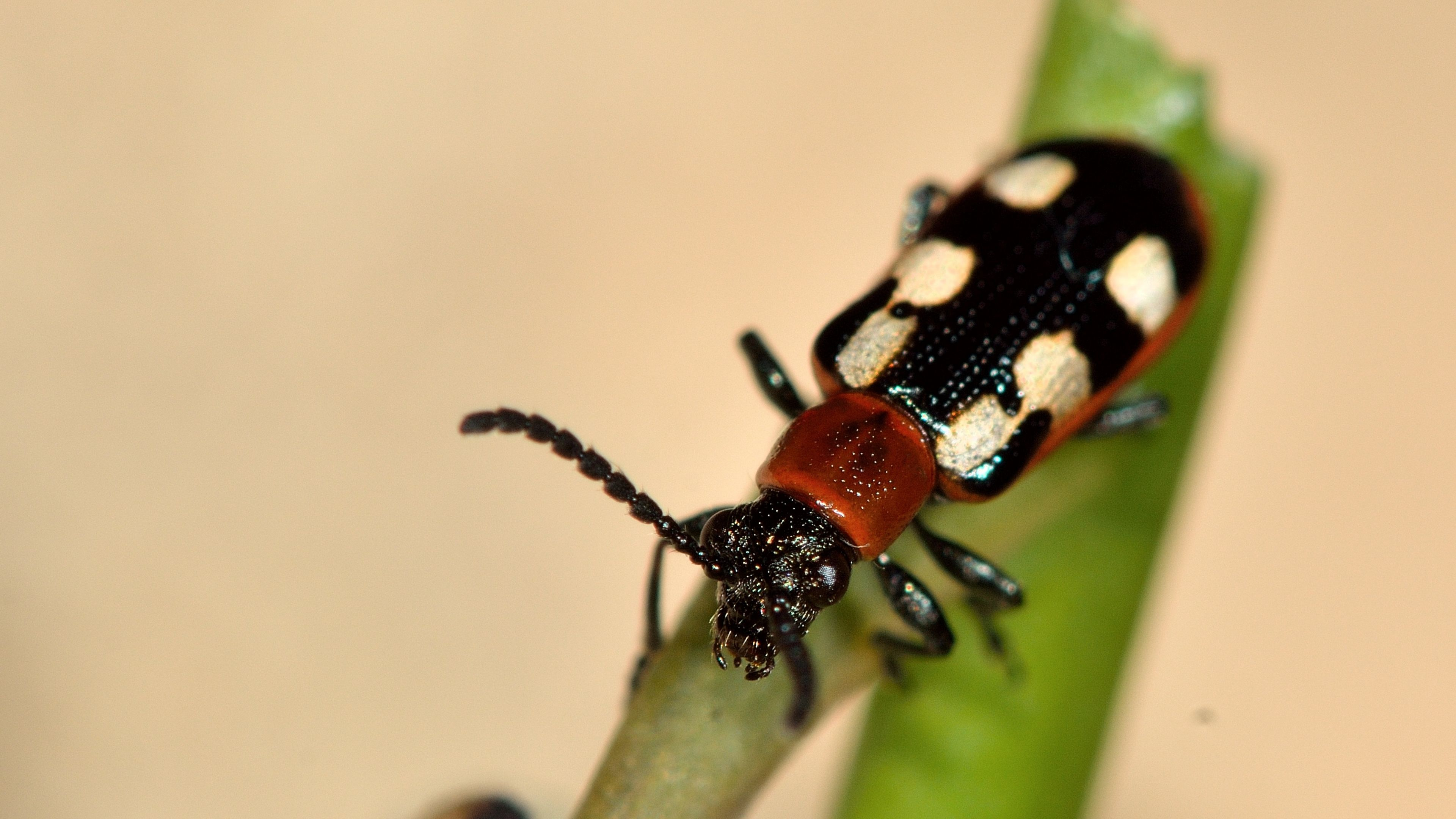 asparagus beetle damage