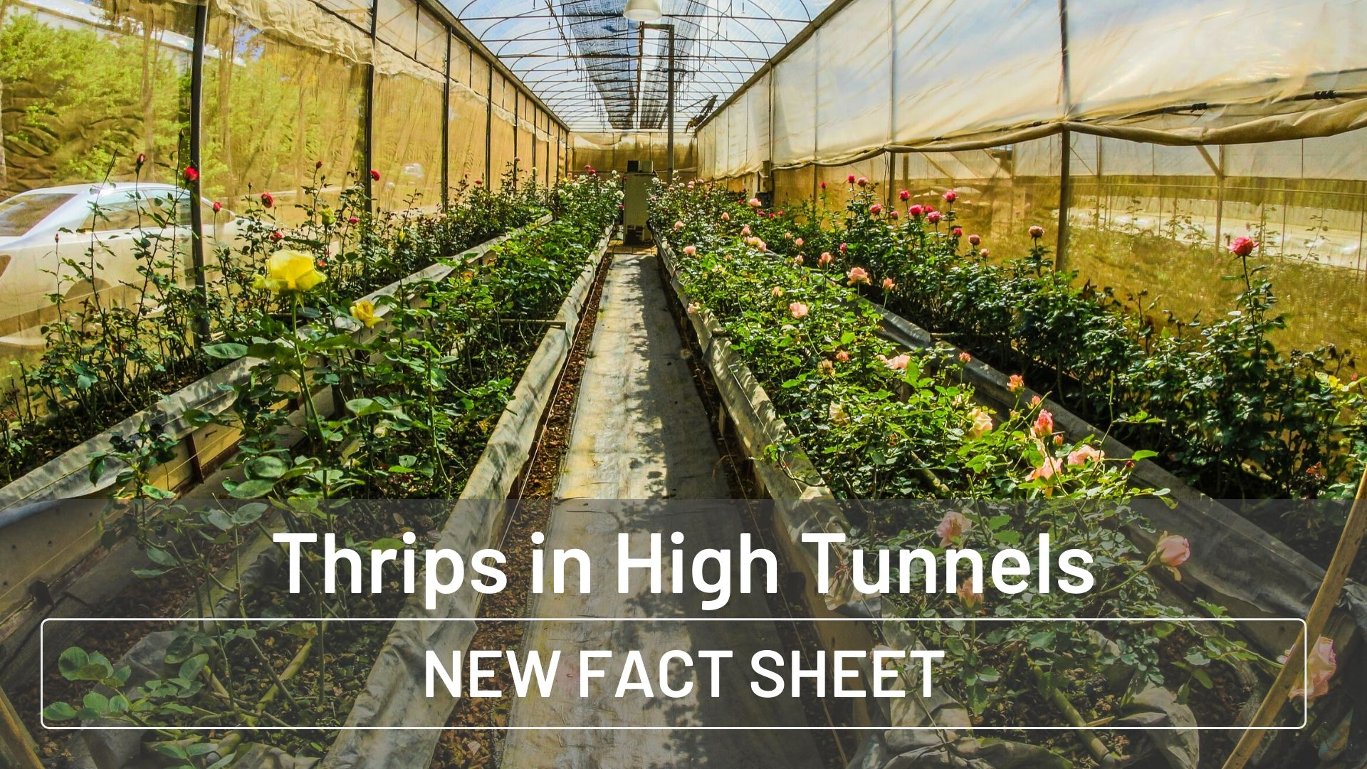 Thrips Management in High Tunnels