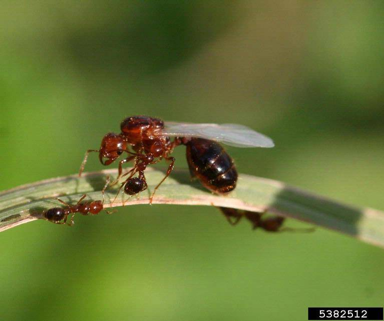 Imported Fire Ants