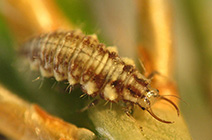 beneficial insects: lacewings and antlions