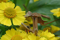 beneficial insects: mantids