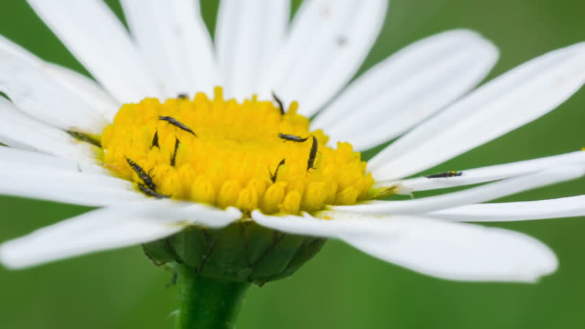 thrips on flower