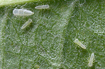 white apple leafhopper