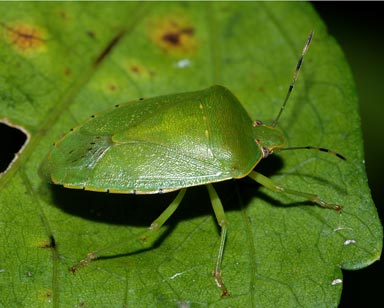common stink bugs