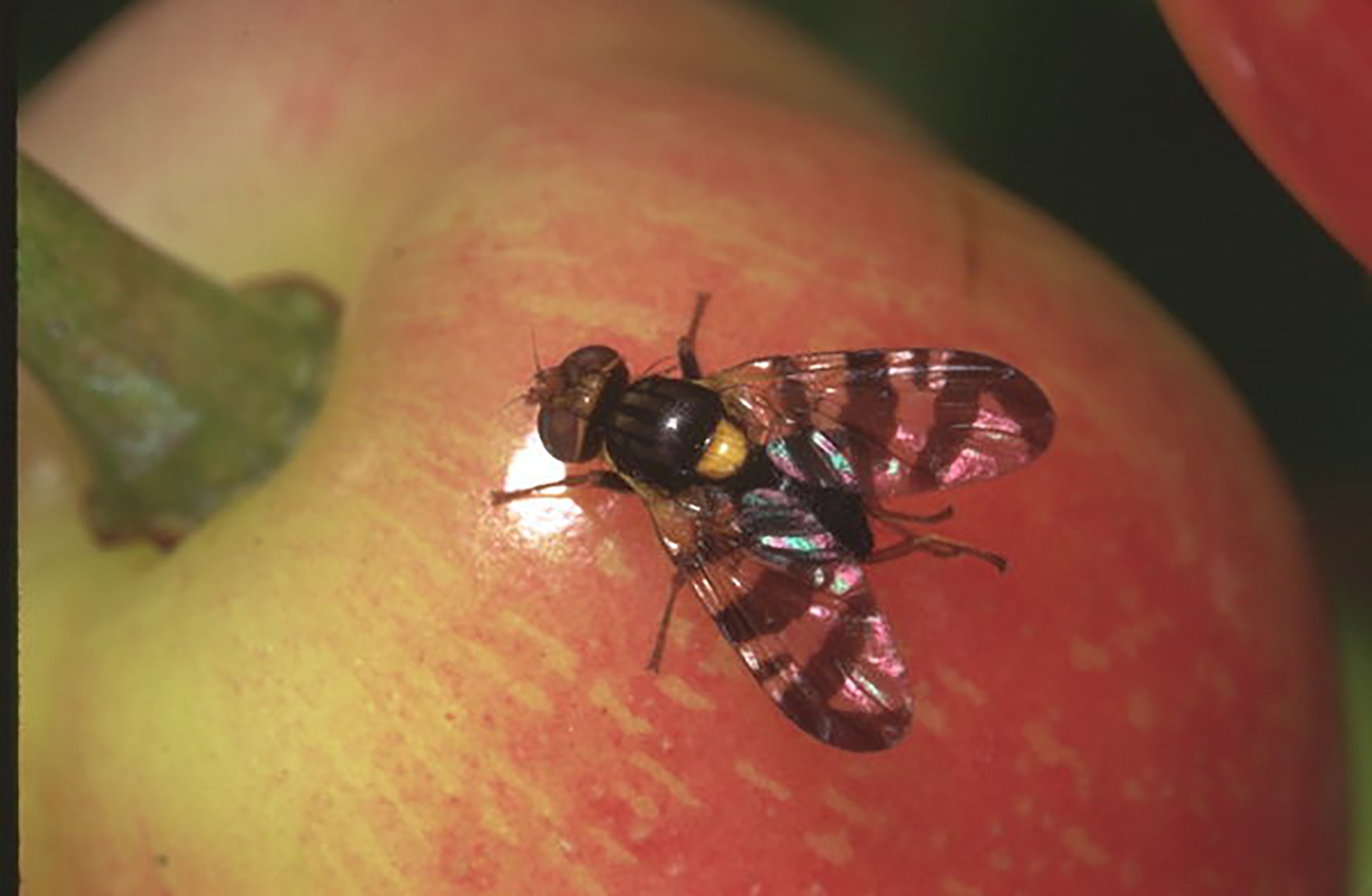European cherry fruit fly