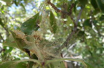 web spinning spider mites
