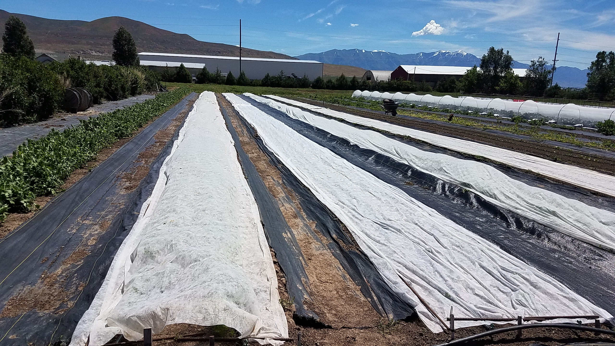 row covers laid directly on crops