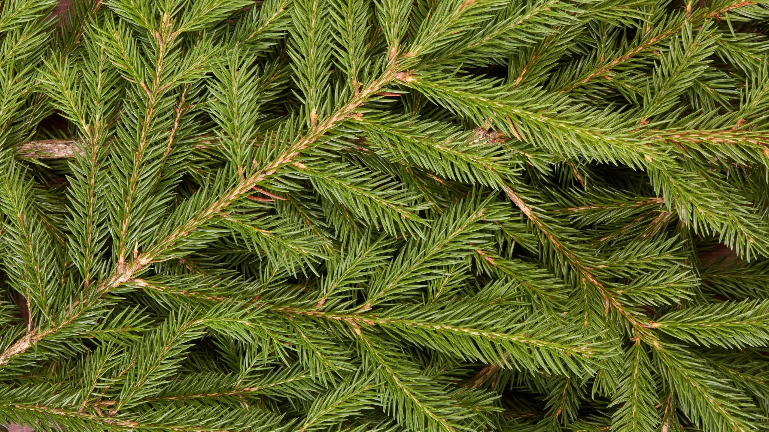 A subalpine fir stand infested with balsam woolly adelgid