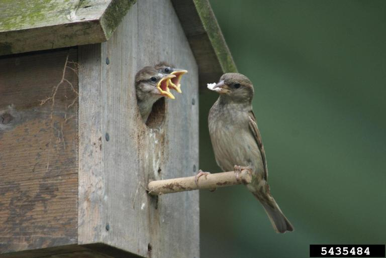Sparrow and nestlings