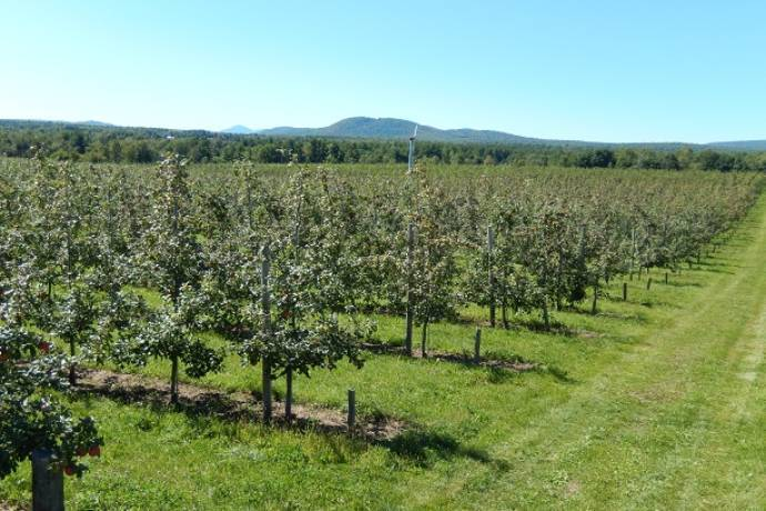 Apple orchard on rolling hills