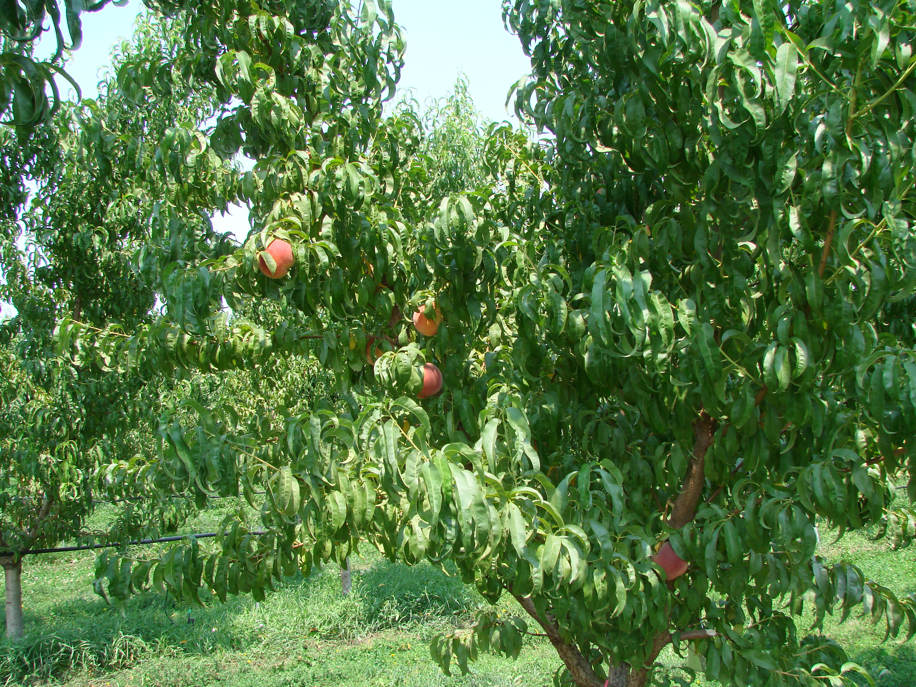 fruit tree with visable fruit