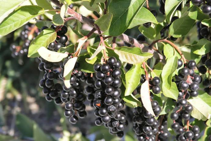 ripe chokecherry cluster