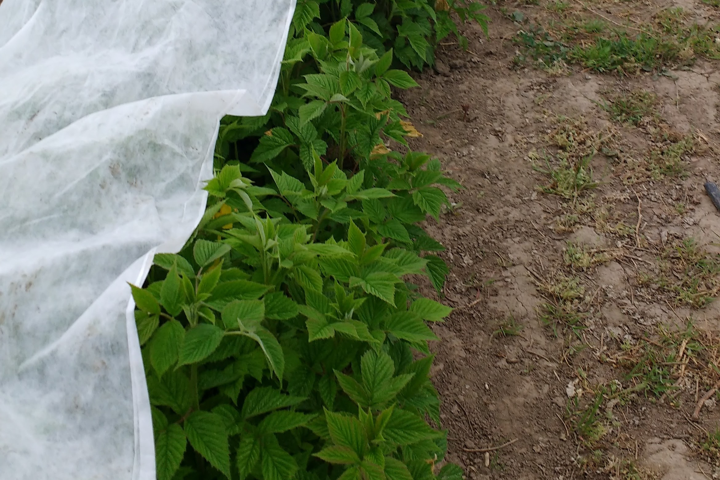 Raspberry canes growing under row cover